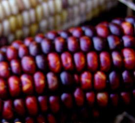 Blue Maize